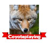 Coyoteplaying